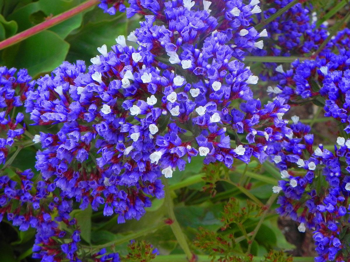 кермек фото цветы девушка