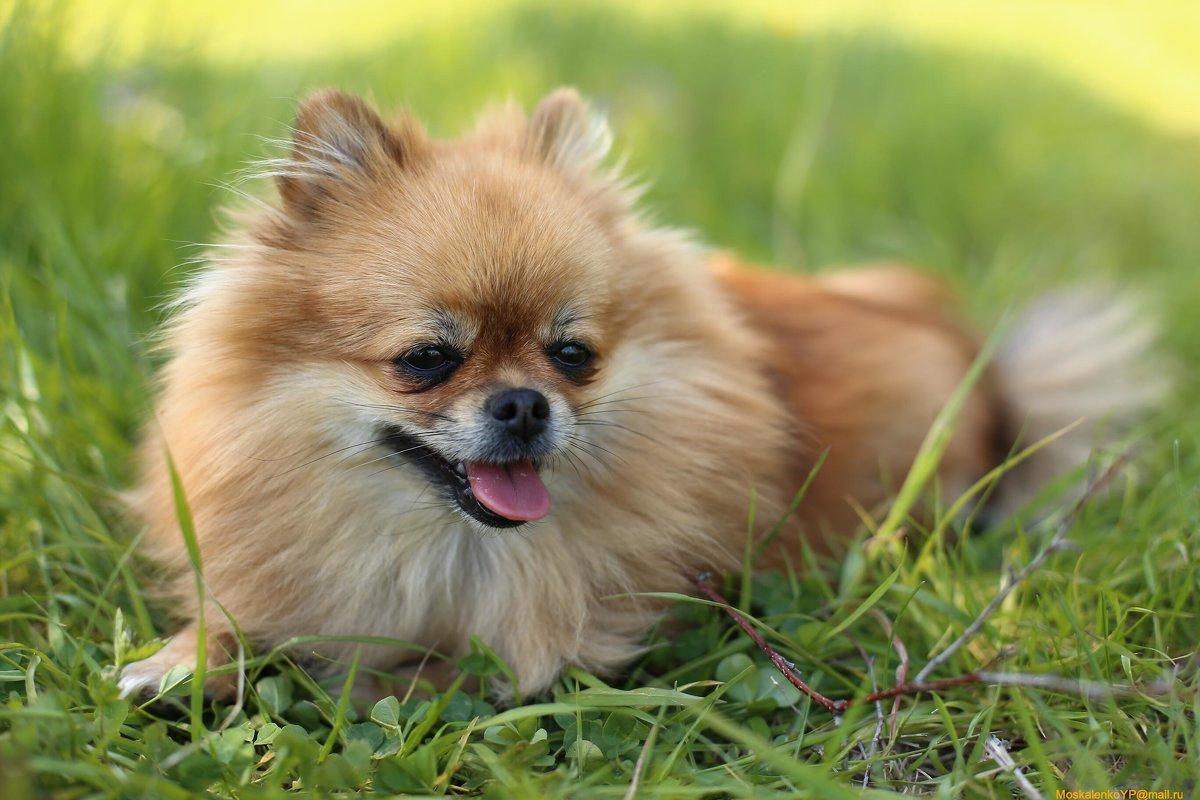 покажите фото собаки шпиц построен таким
