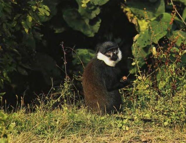 Обезьяны Хеста обитают в лесистых горах Центральной Африки. Их по количеству больше, чем горилл. Во главе группы — один самец.
