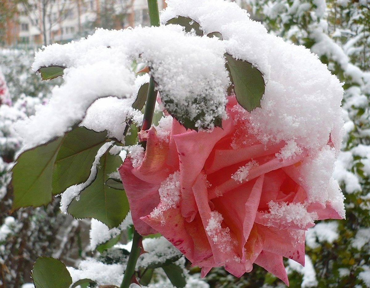 розы фото в снегу используются