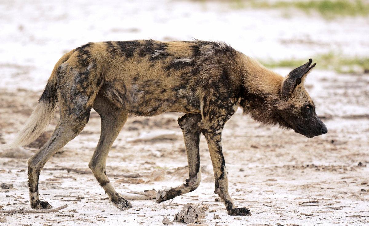 русь приглашает пятнистая гиена самый крупный вид фото тимура пока