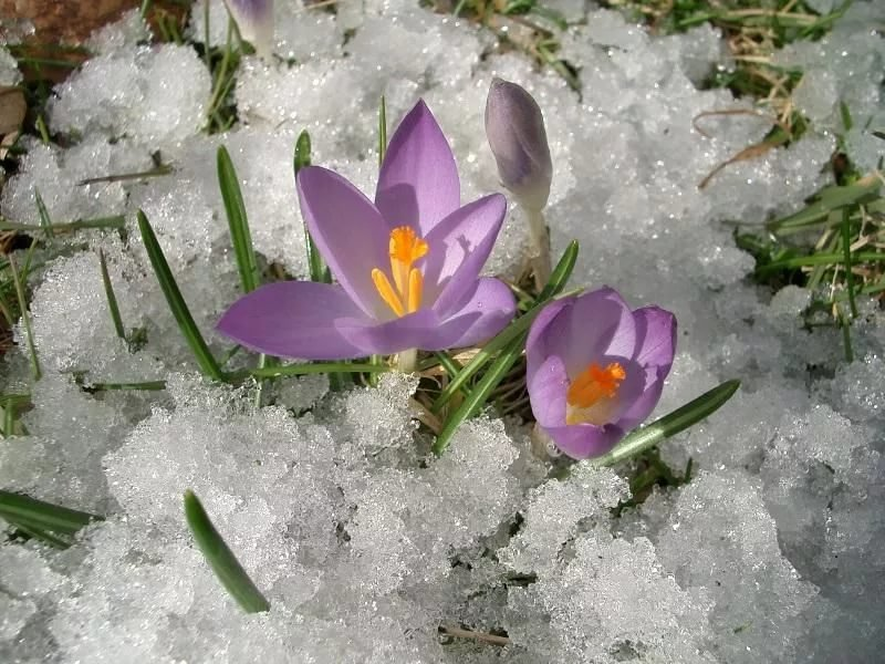 Картинки, открытки первые цветы весны