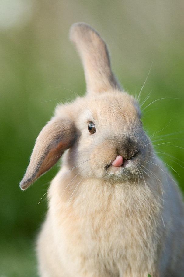 фото кролик показывает язык
