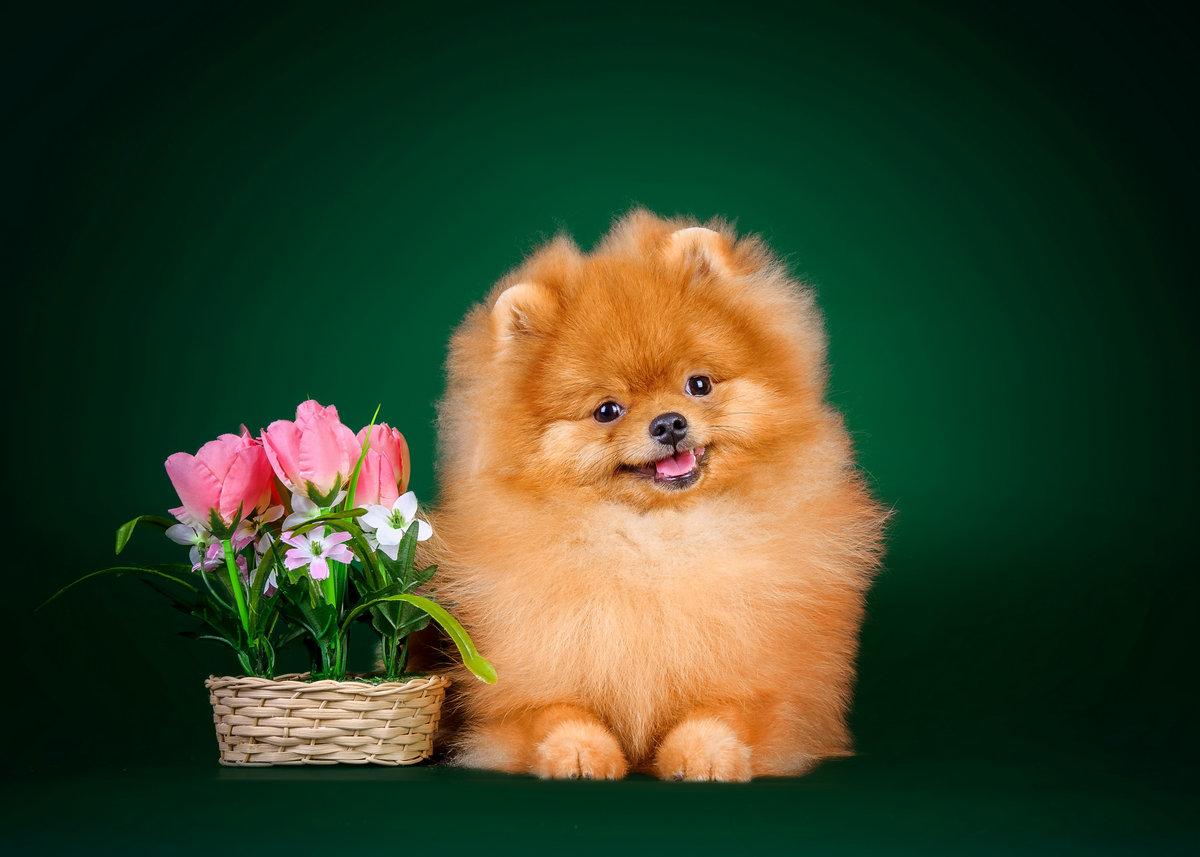 Открытка с днем рождения с собакой шпиц, прикольные очень смешные