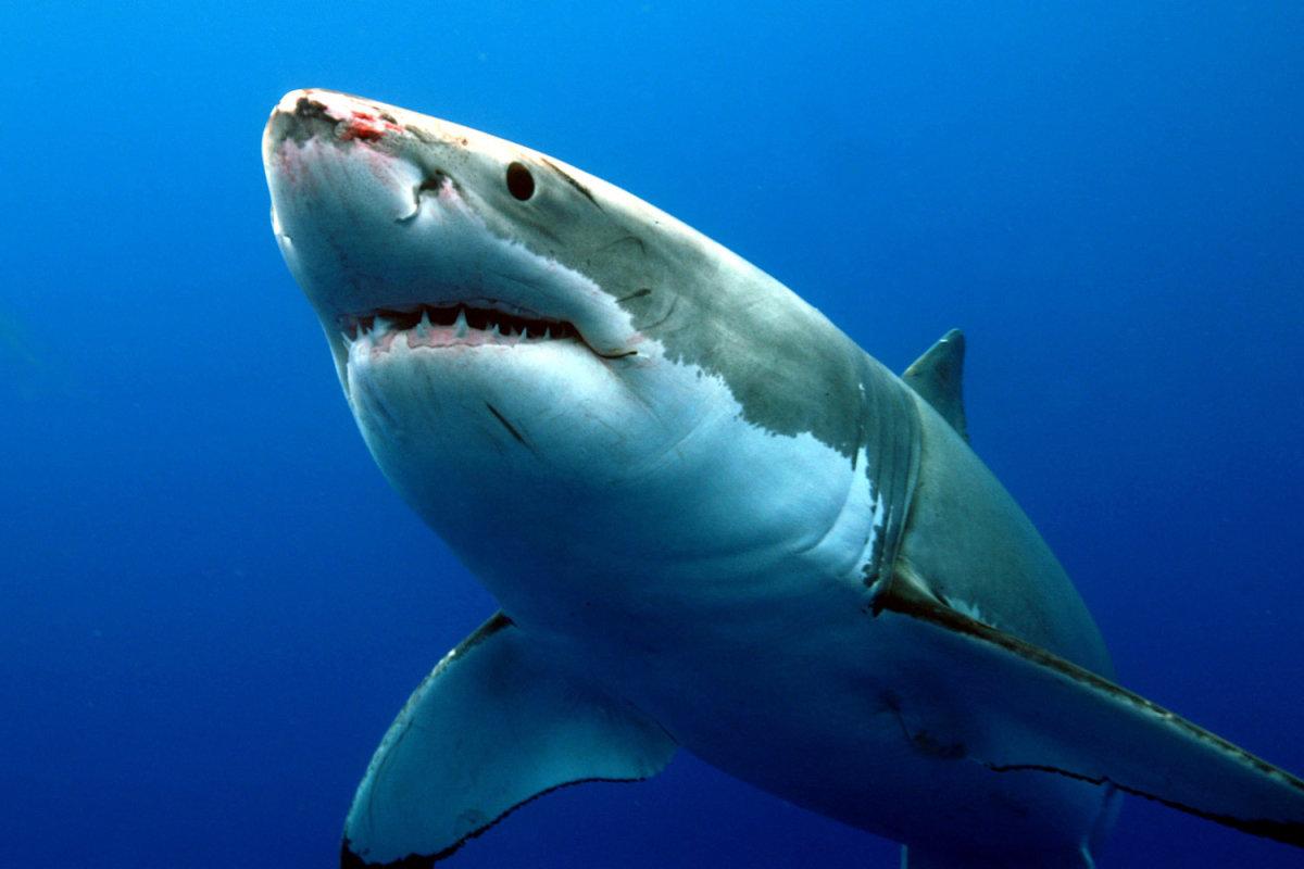 Акула в картинках, самодельные легкие красивые