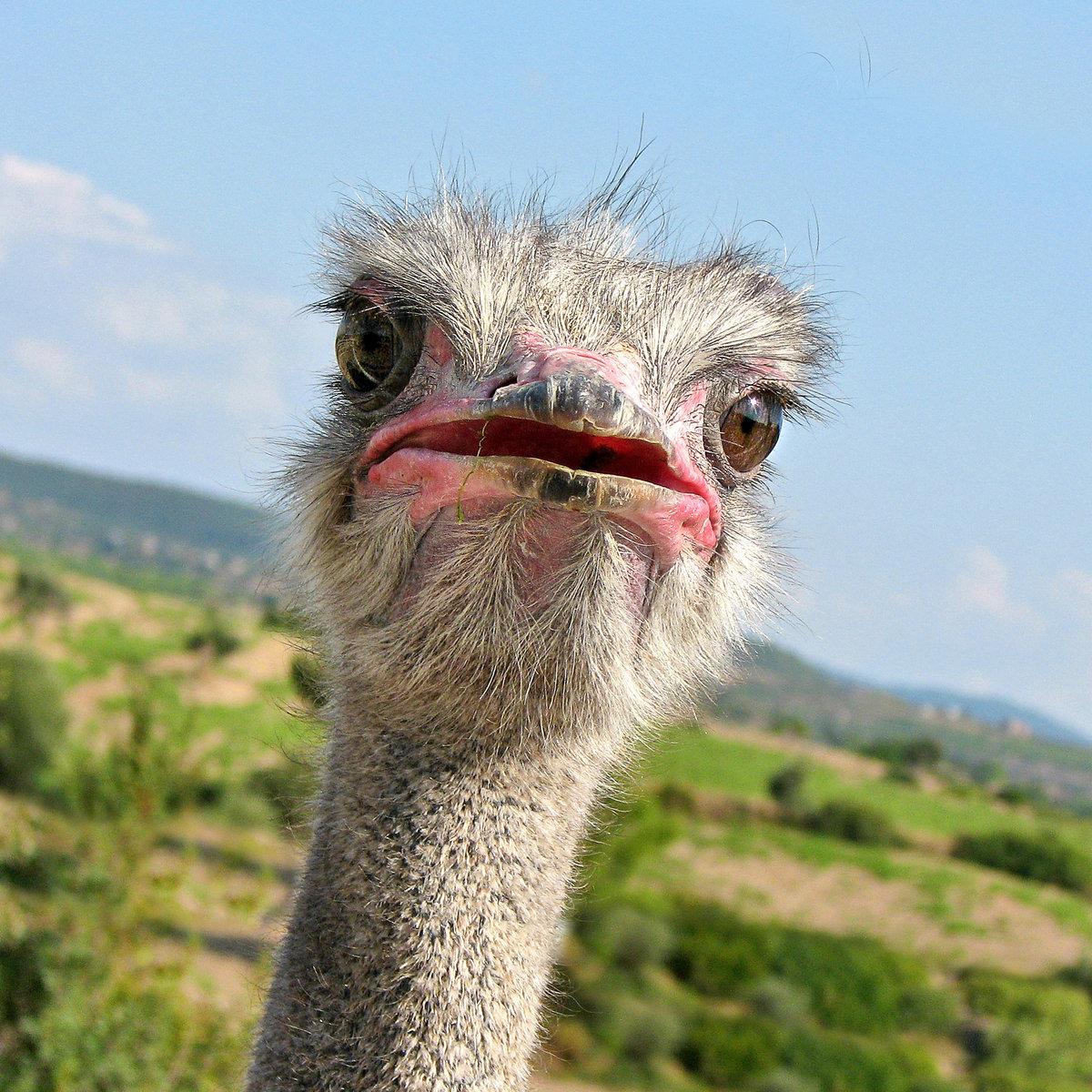Картинки смешной страус