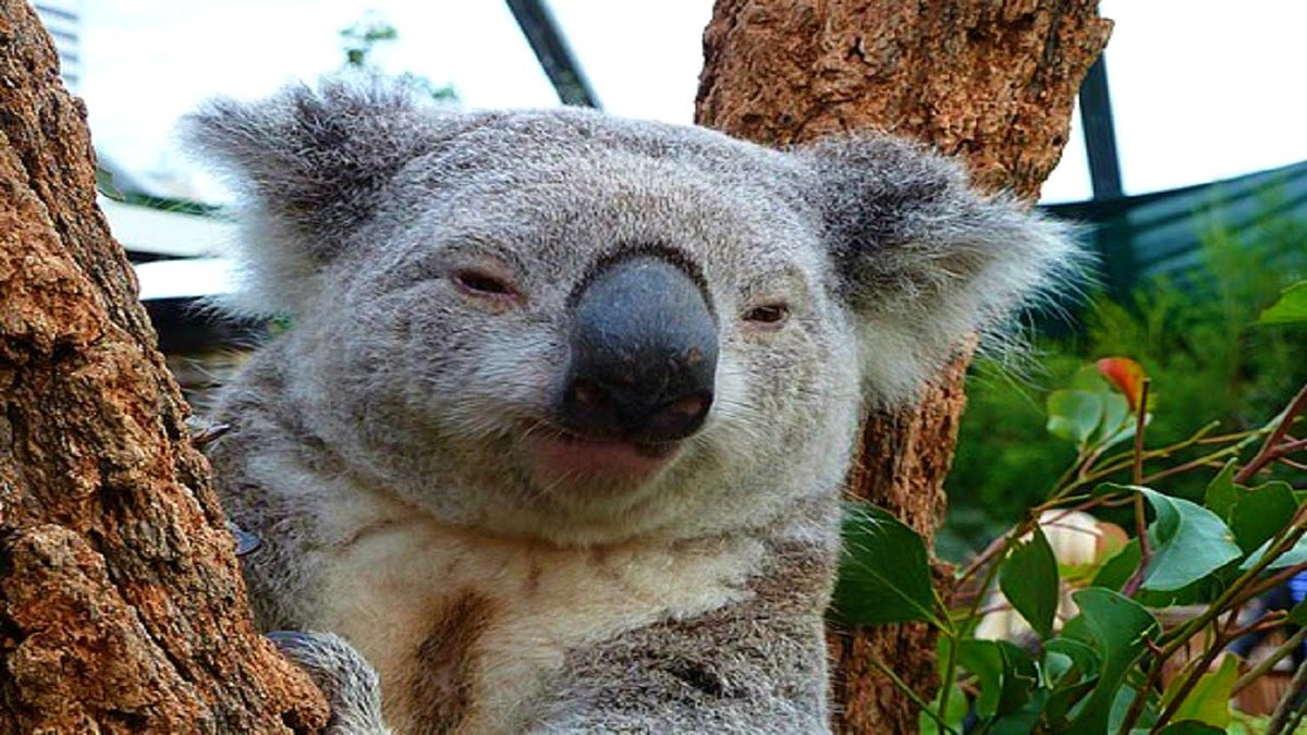 Смешная картинка коала, поздравления подруге