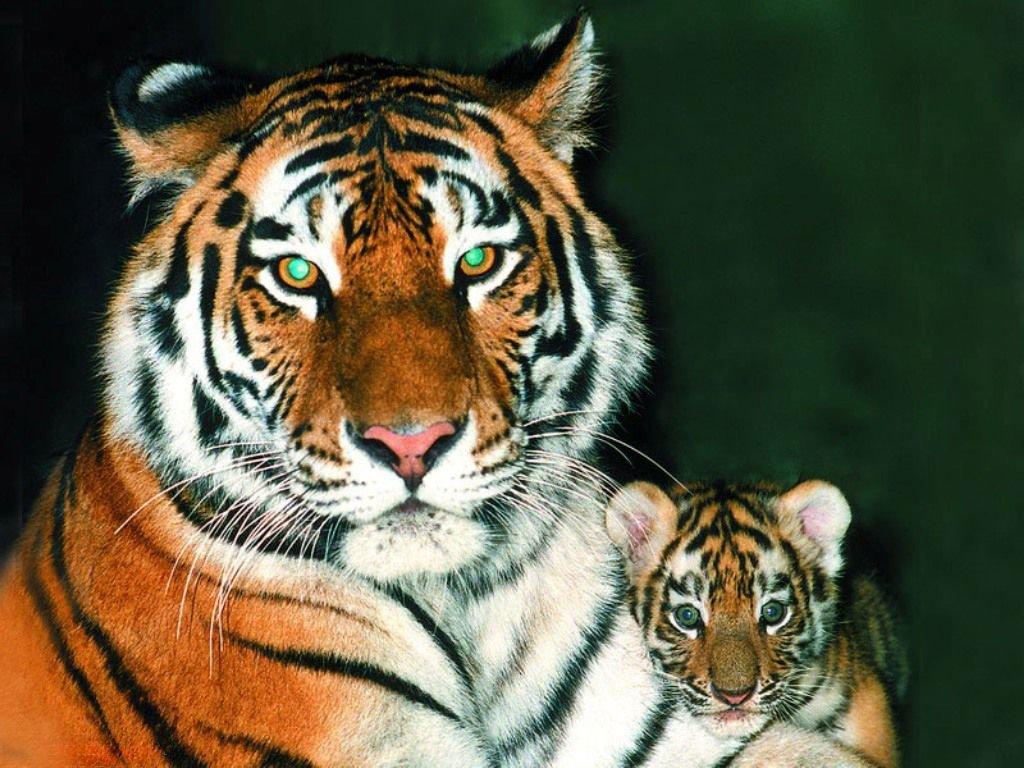 Рождеством христовым, картинки табличка с названием тигр его кличка и родина