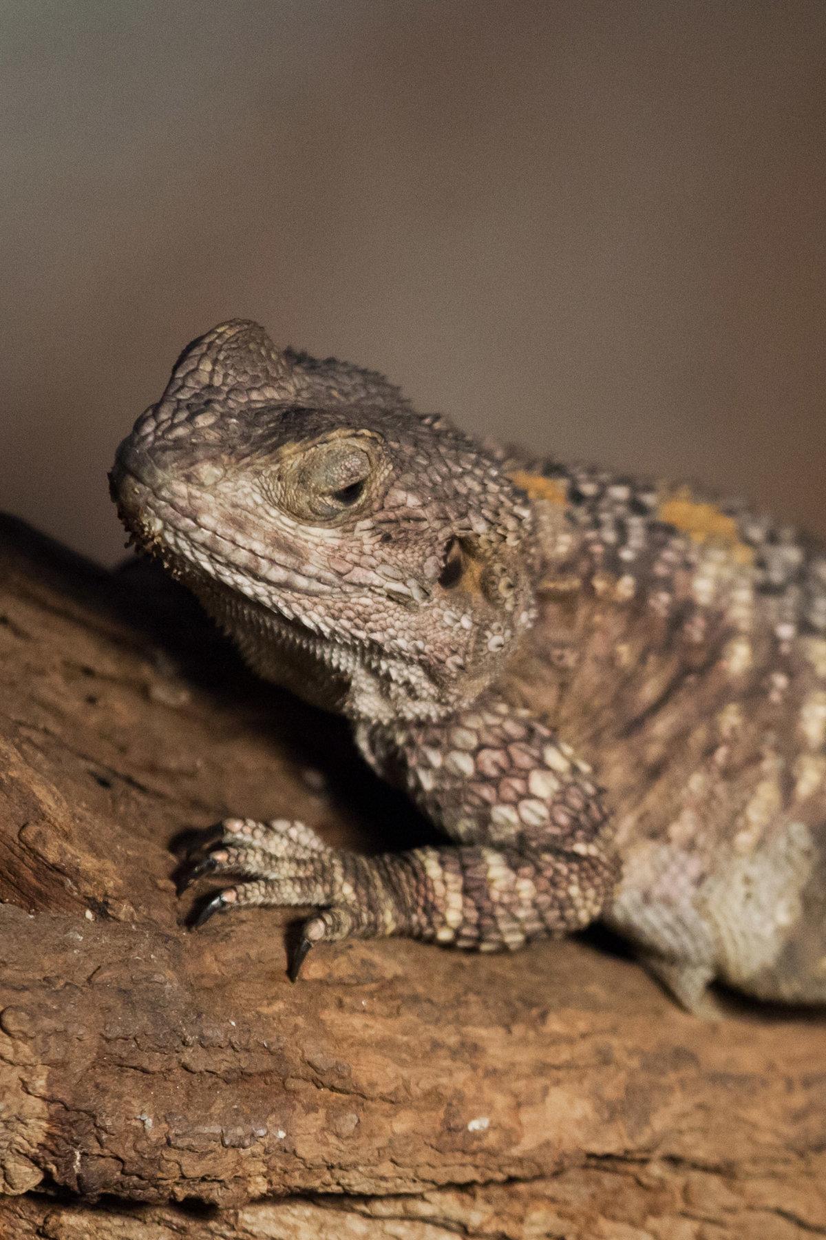 bearded lizard dragon - HD1200×1800