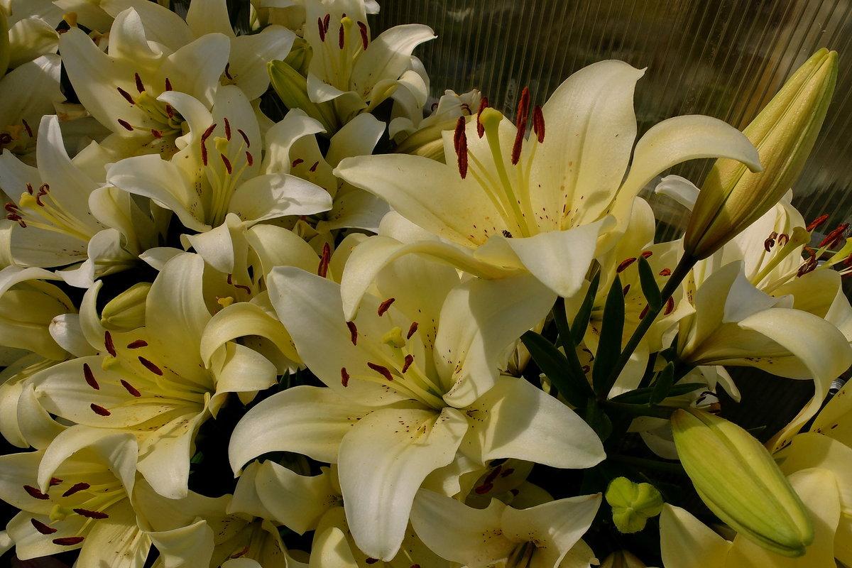 цепочки лучшие фото цветов лилии бывало