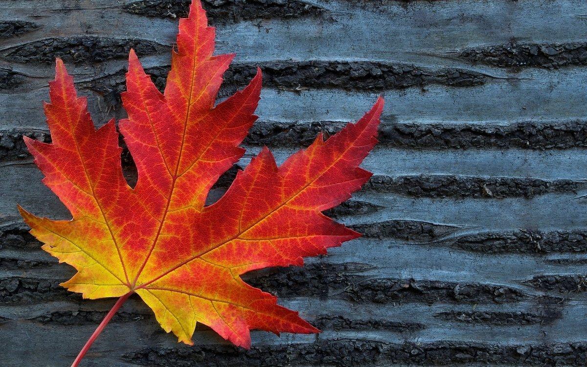 красивые картинки кленовые листья страшная статистика