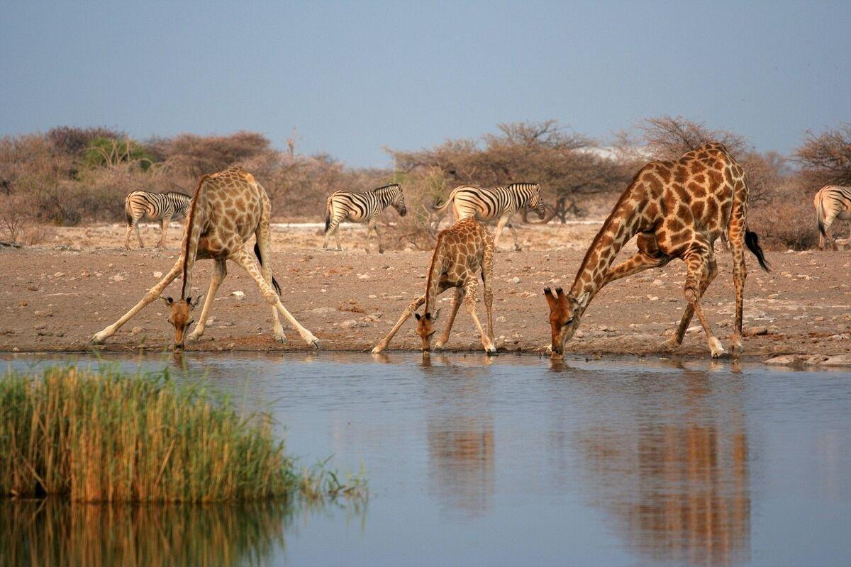 жираф в воде картинки прикол уже сковородка