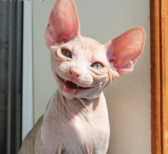 Смешные картинки лысая кошка