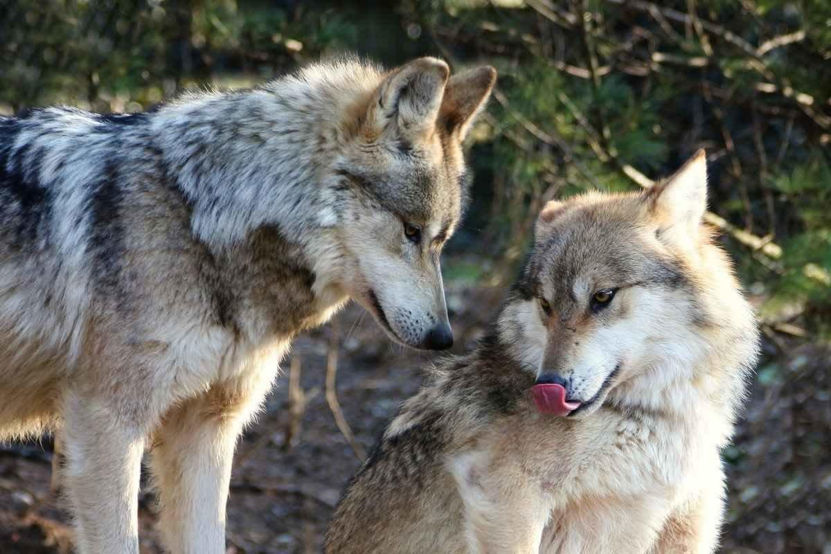 Картинки волков которые пьют