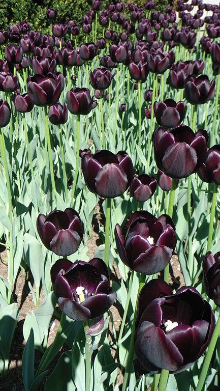 Цветки чёрного тюльпана
