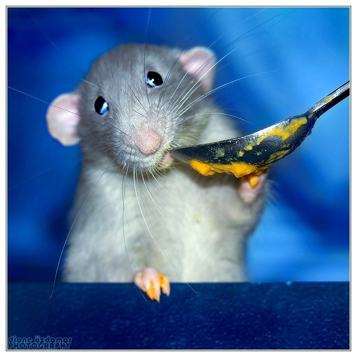 Смешные картинки крыс с надписями