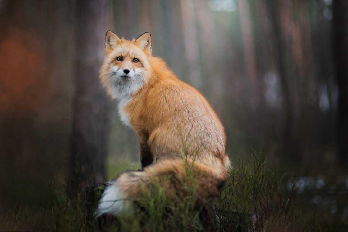 Открытки, красивые картинки лисы