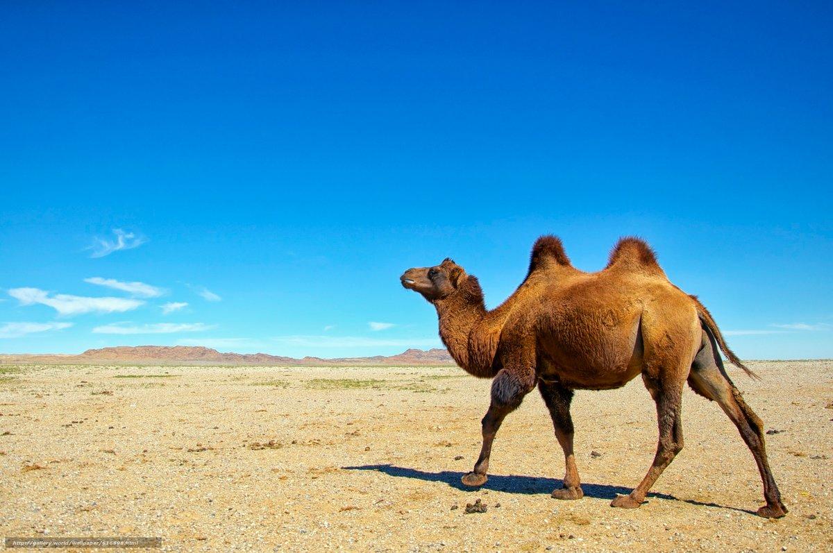 Верблюд в картинках, открытках