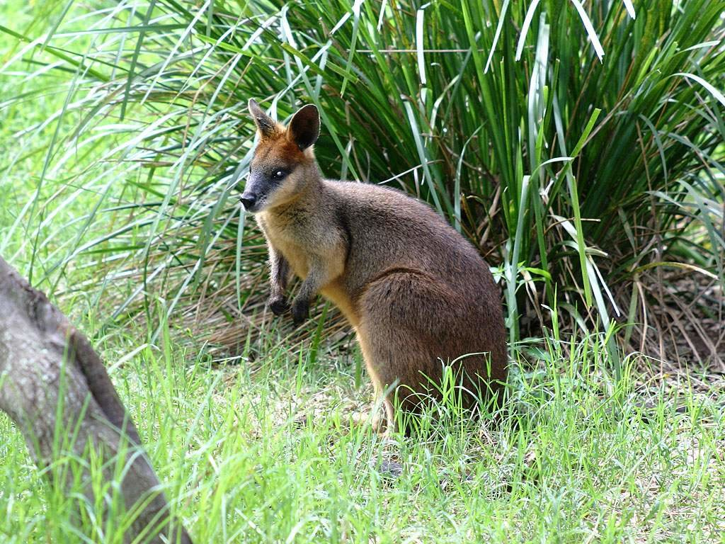 wallabies - HD 1024×768