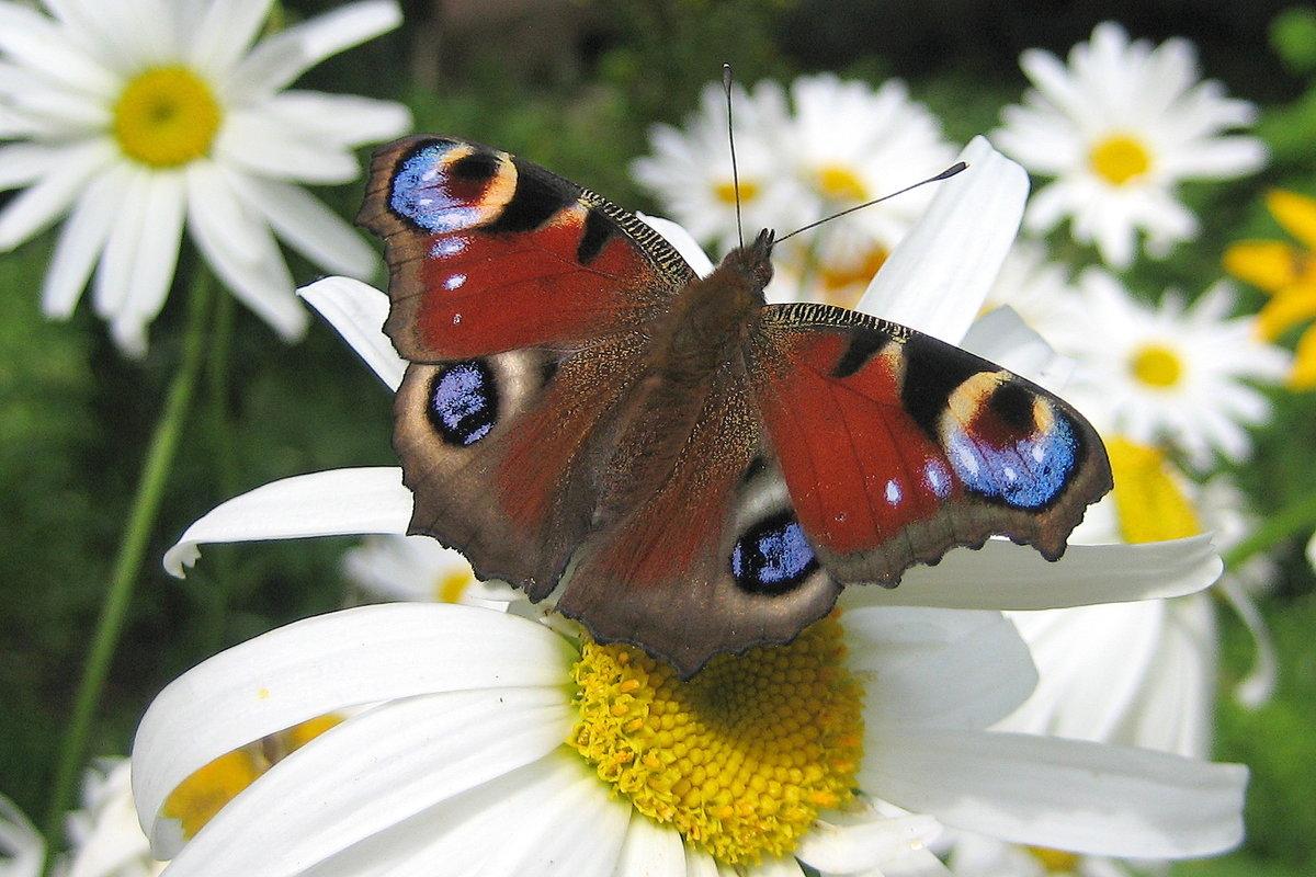 Поздравление, картинки с ромашками и бабочками