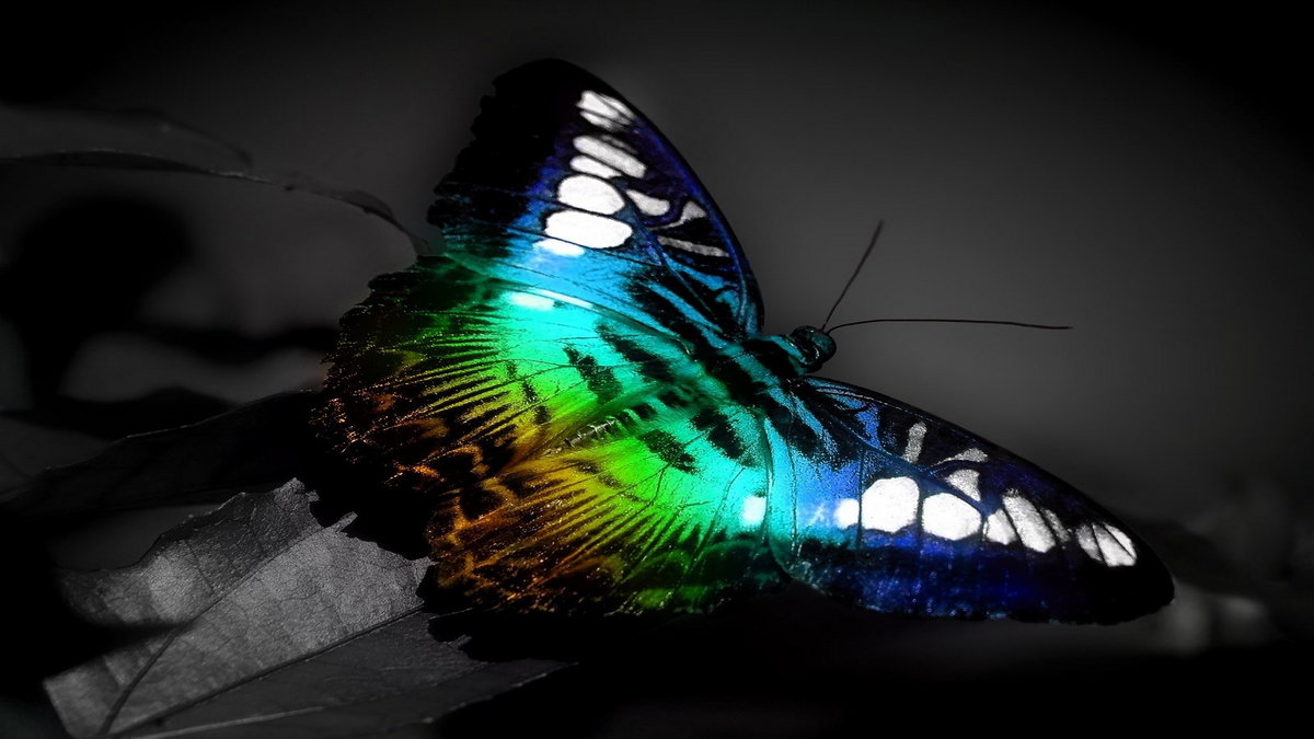 3d Butterfly Download Hd 3d Butterfly Wallpaper For Deskto Card