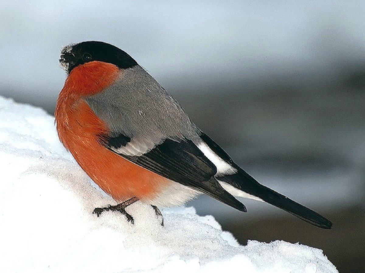 посмотреть картинки зимующие птицы мясо