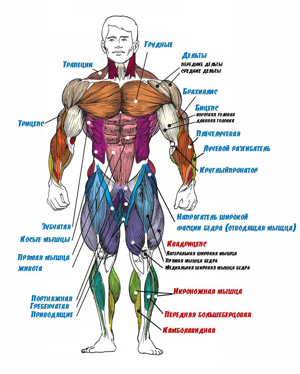 деталь выполняет анатомия мышц человека бодибилдинг фото растянуть изображение