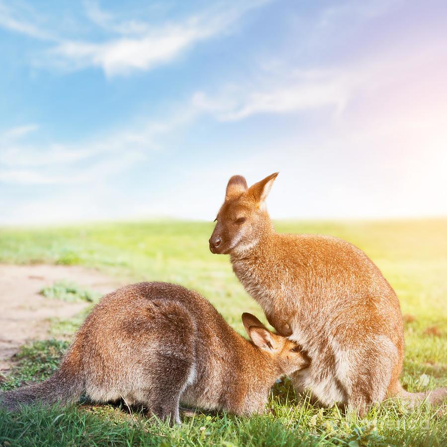 Красавцы кенгуру