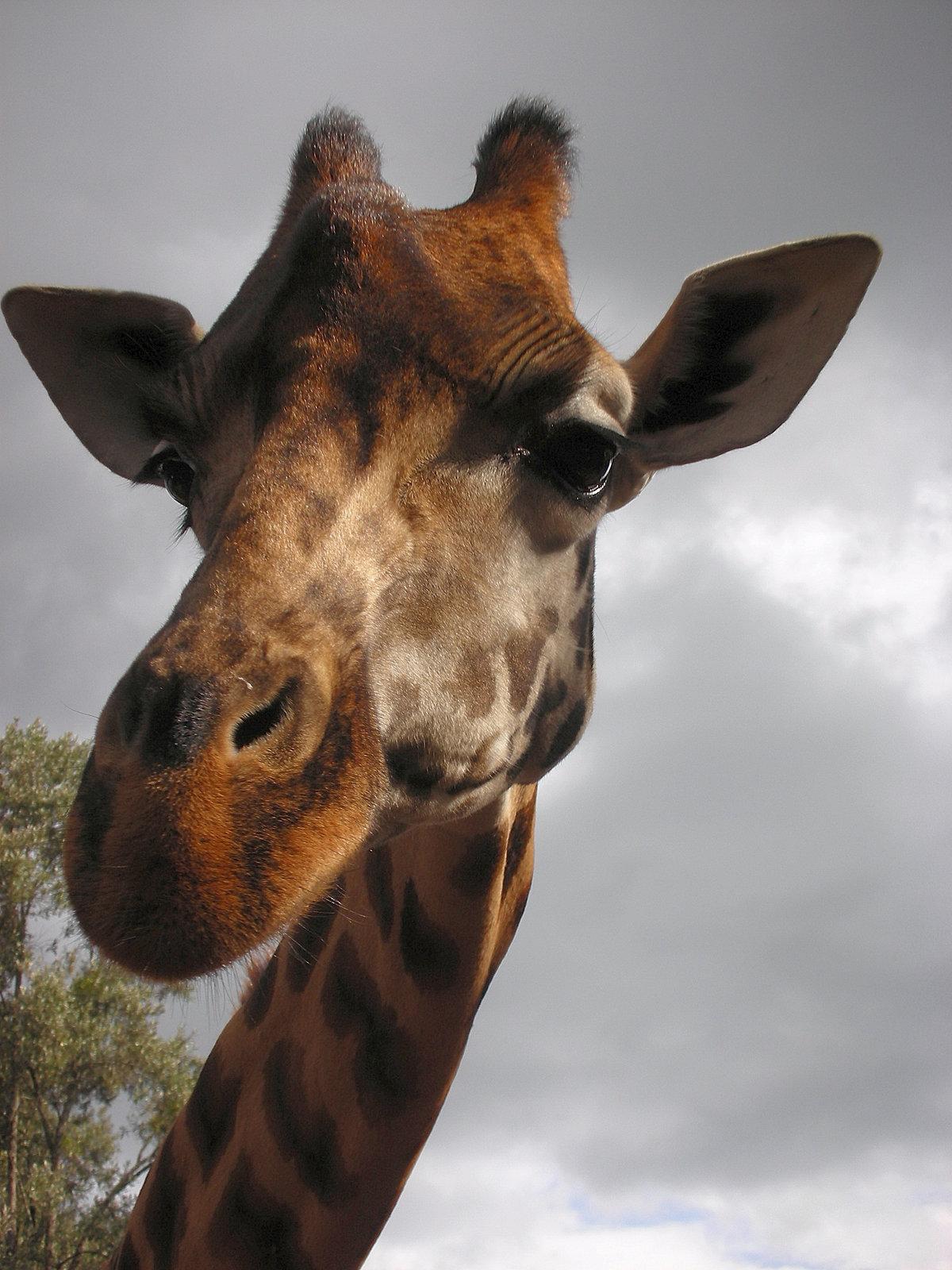 Картинки животные прикольные жирафы
