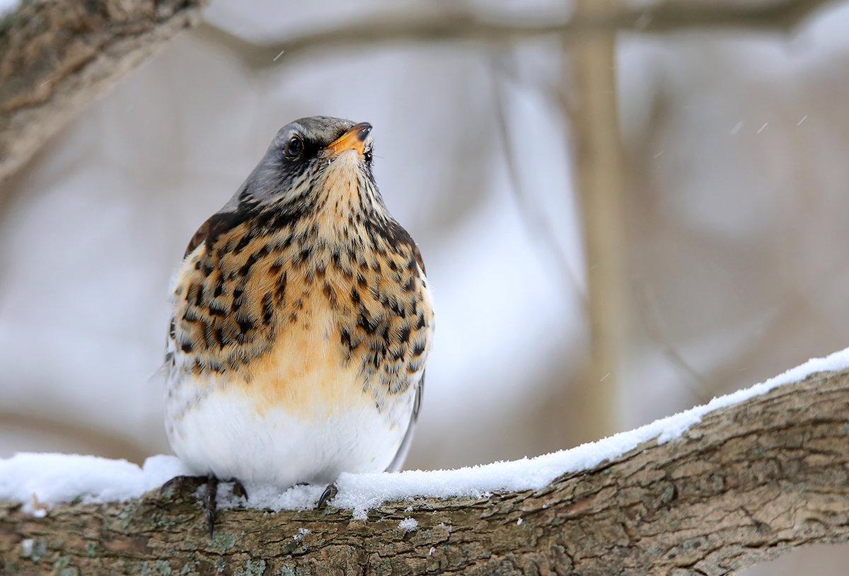 его дрозд фото птицы зимой покупке обращайте