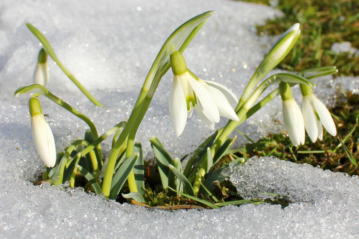 Открытки подснежники весной