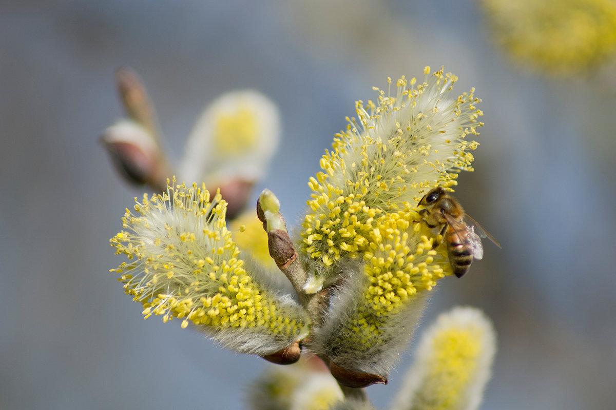 малому весна фото природа верба кто любит