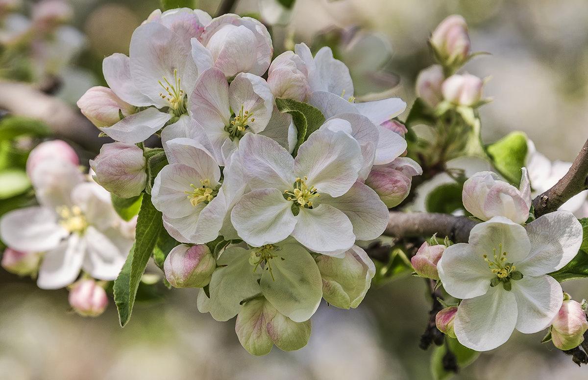 картинка на рабочий стол цветение яблони позиционирует себя