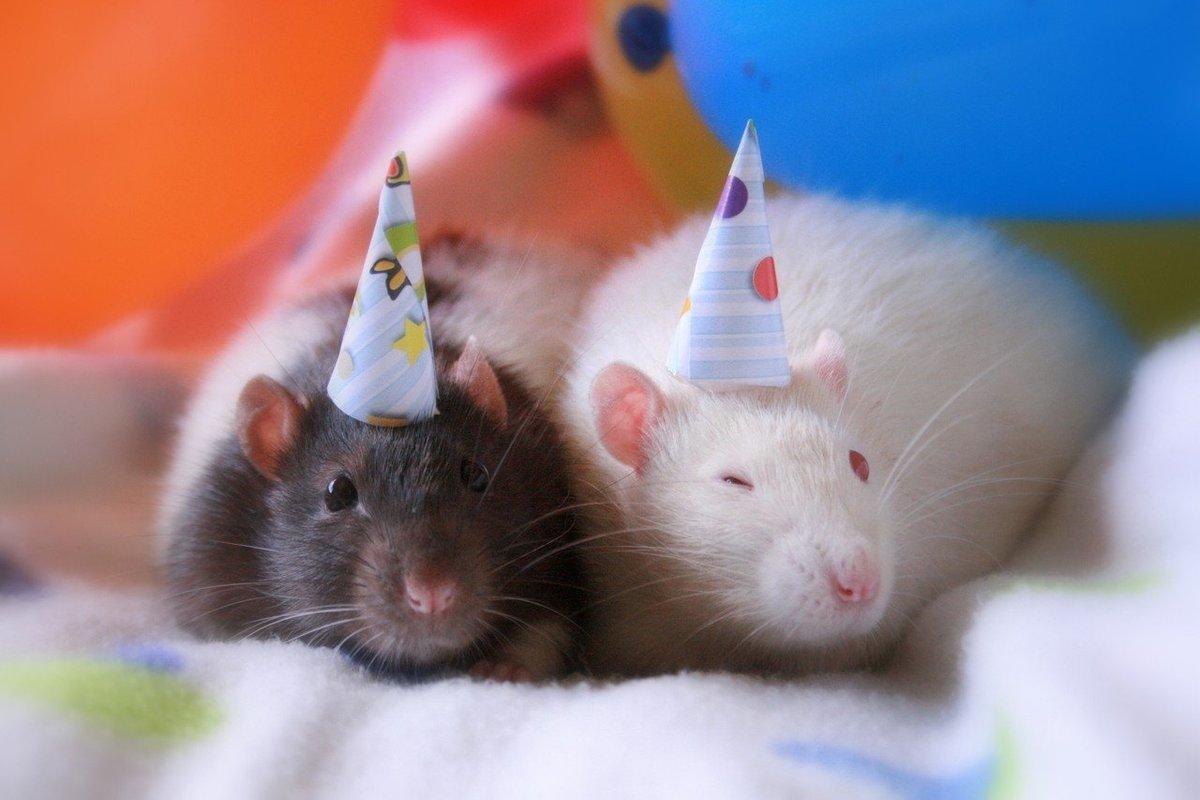 Картинки с днем рождения крысы