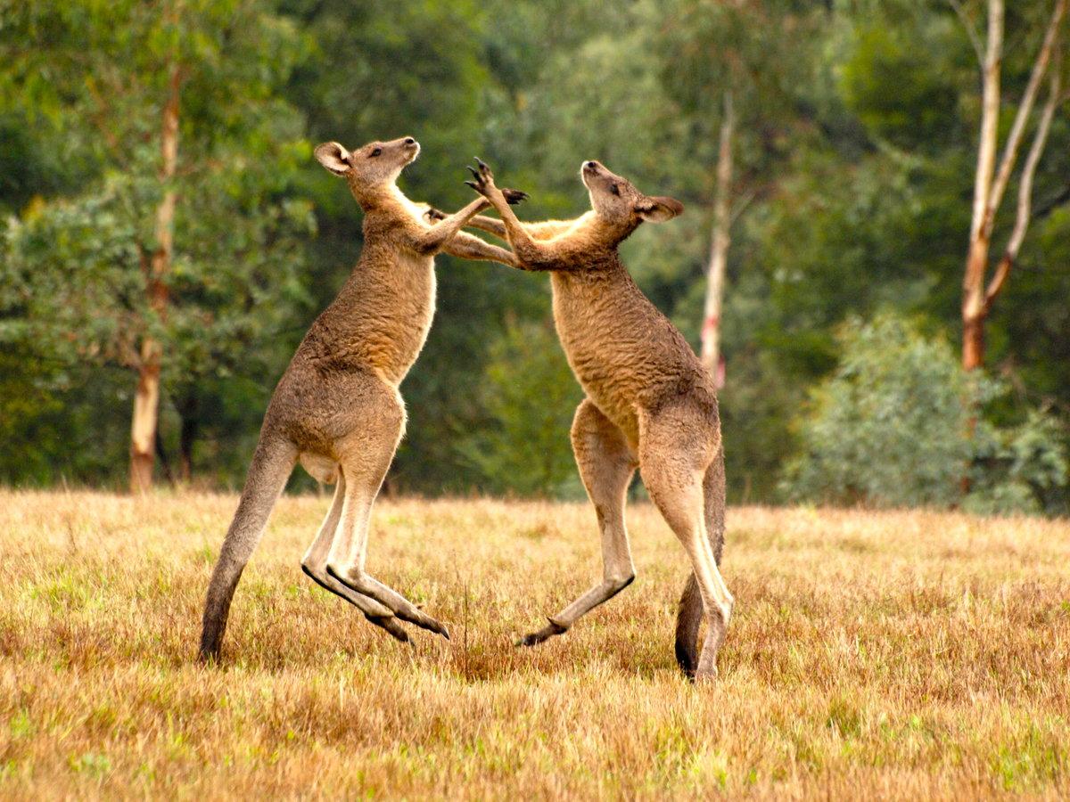 Секс с кенгуру онлайн, Кенгуру секс. Смотреть на сайте online 11 фотография