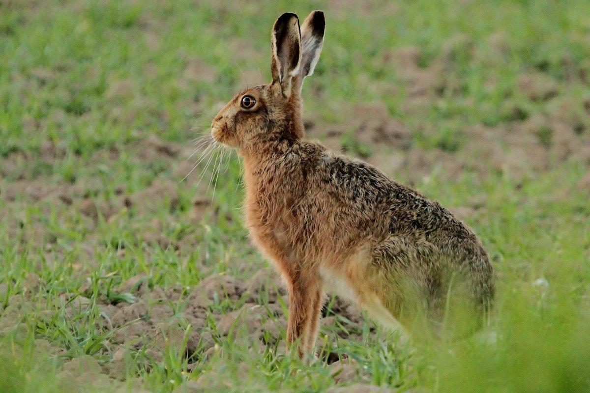 красивые покажите мне зайца -беляка и зайца-русака картинки платьев
