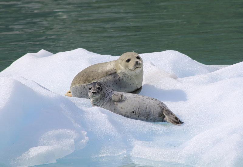 Картинки тюлень на льдине, открытки
