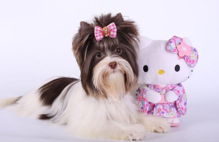 Картинки комнатно-декоративных собак