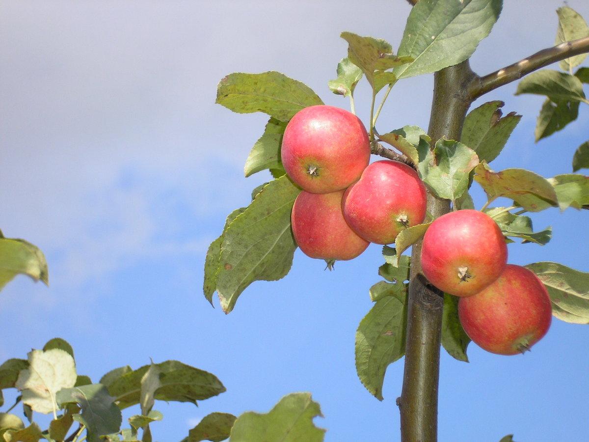 Картинки ранеток яблок, новогодняя
