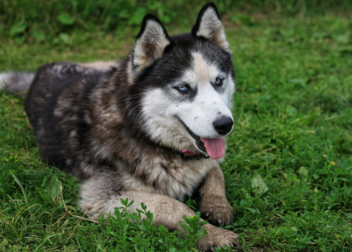 Хаски собака фото