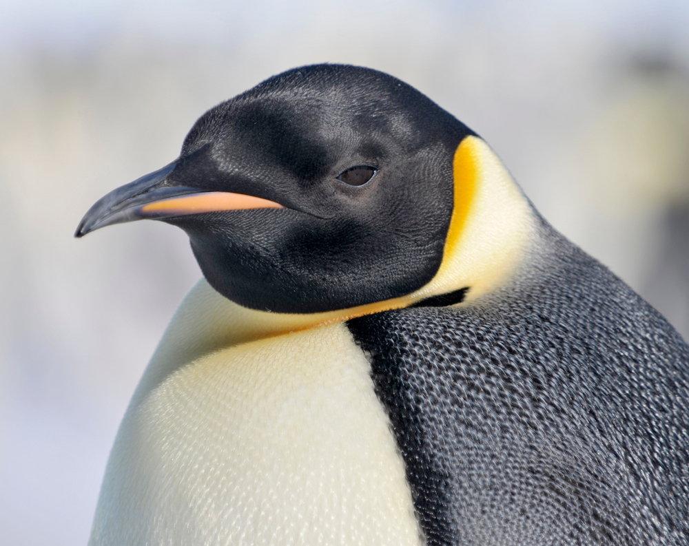 Императорский пингвин фото