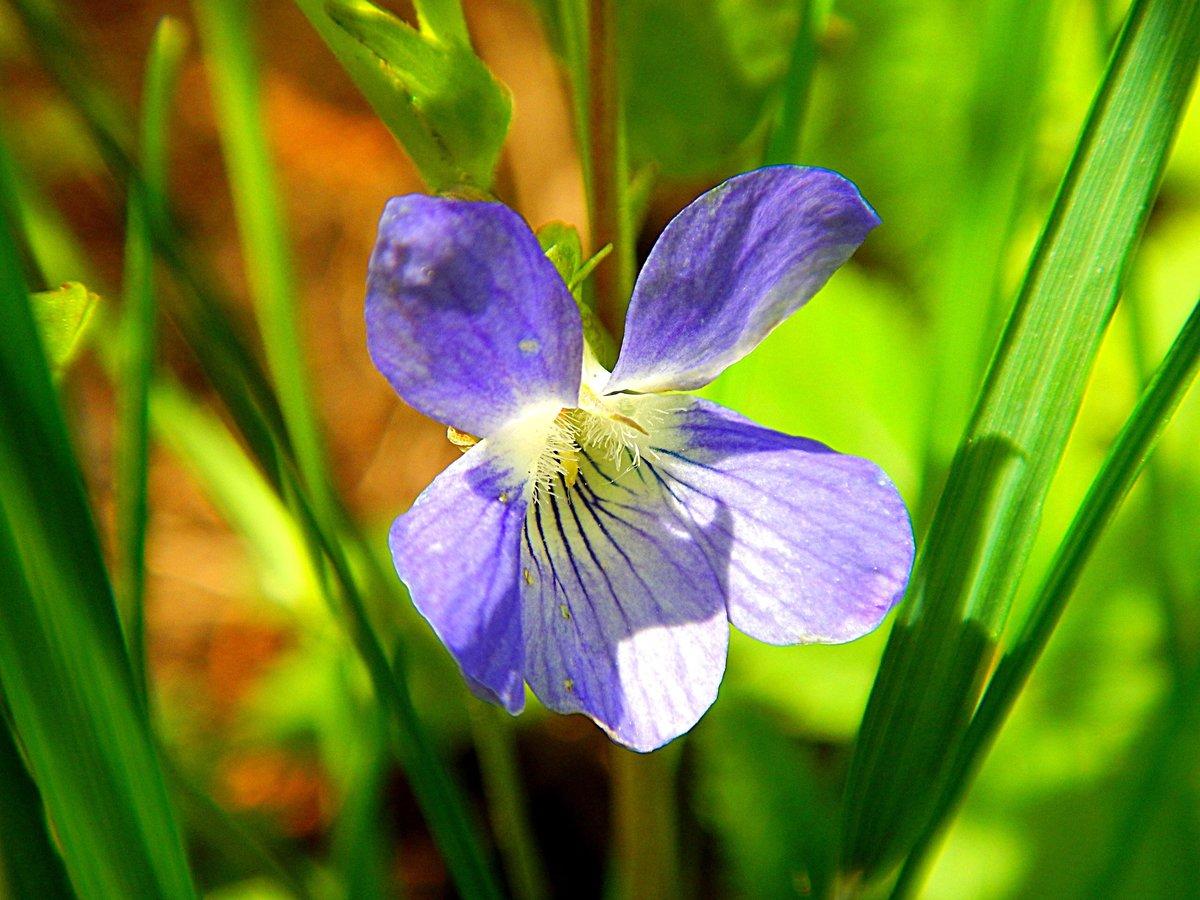 работы лесная фиалка цветок фото она, словам