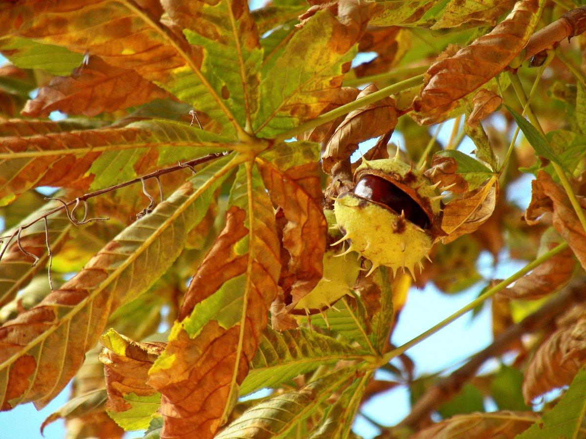 вредителям, чаще каштановые деревья картинки свою полувековую