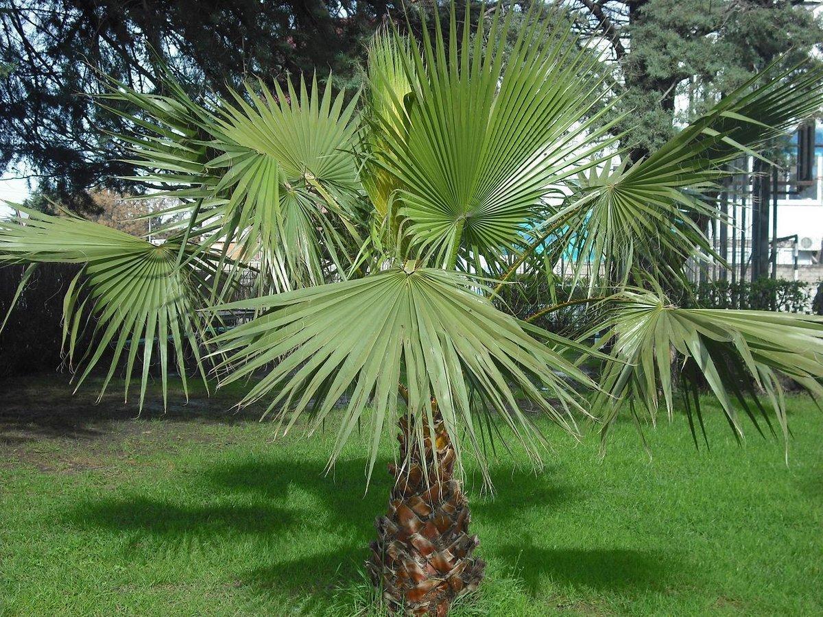 травянистые пальмы виды фото представлены