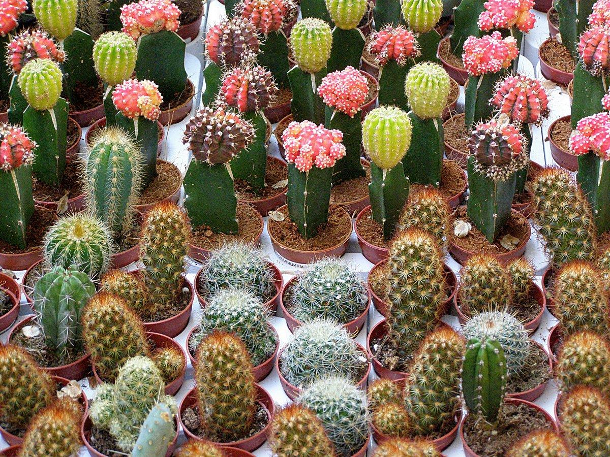 Фото кактусов начинающему