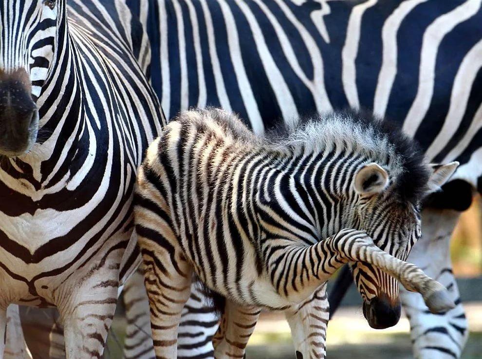 Повесить картинку, картинка зебра с детенышем