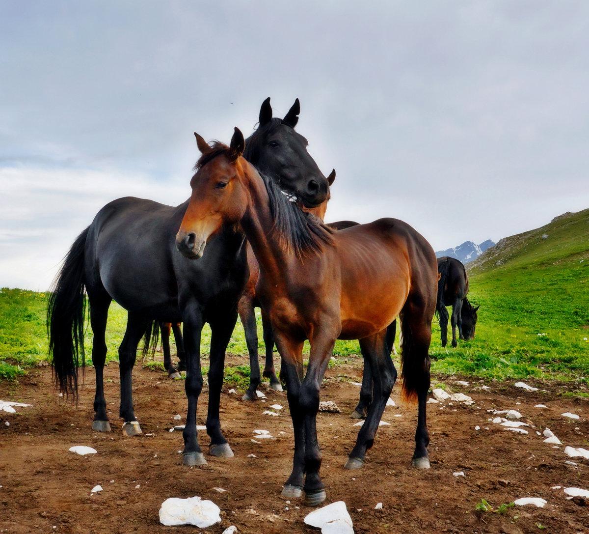 Картинки лошади кавказ