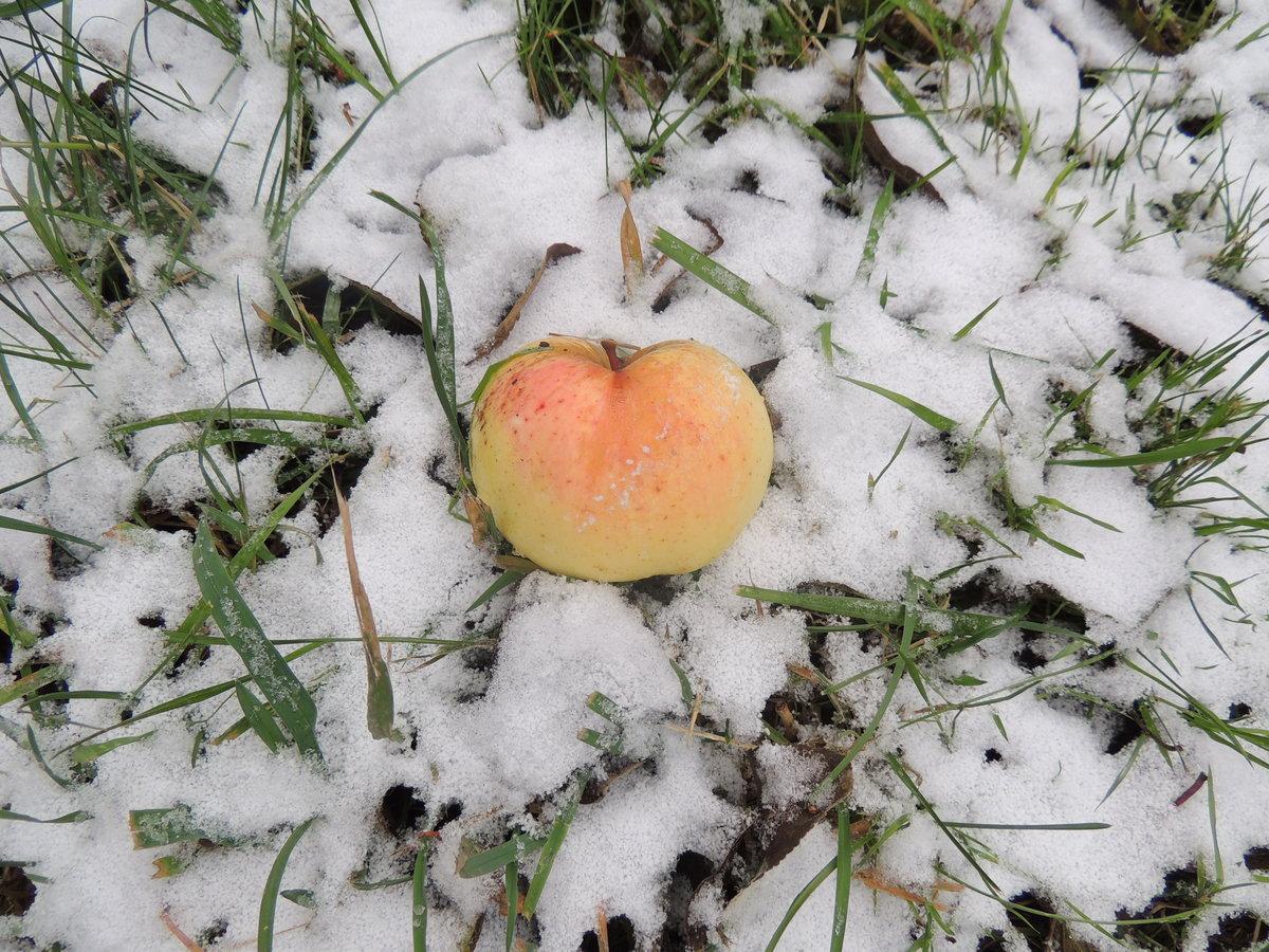яблоки на снегу самая красивая картинка расчленена