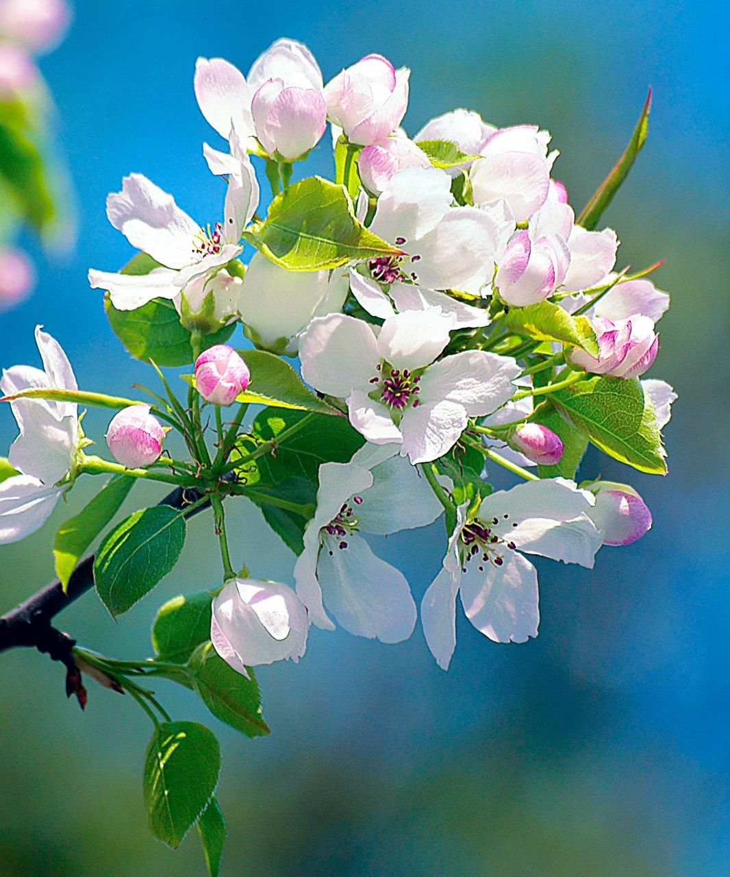 Кукусики, яблони в цвету открытки