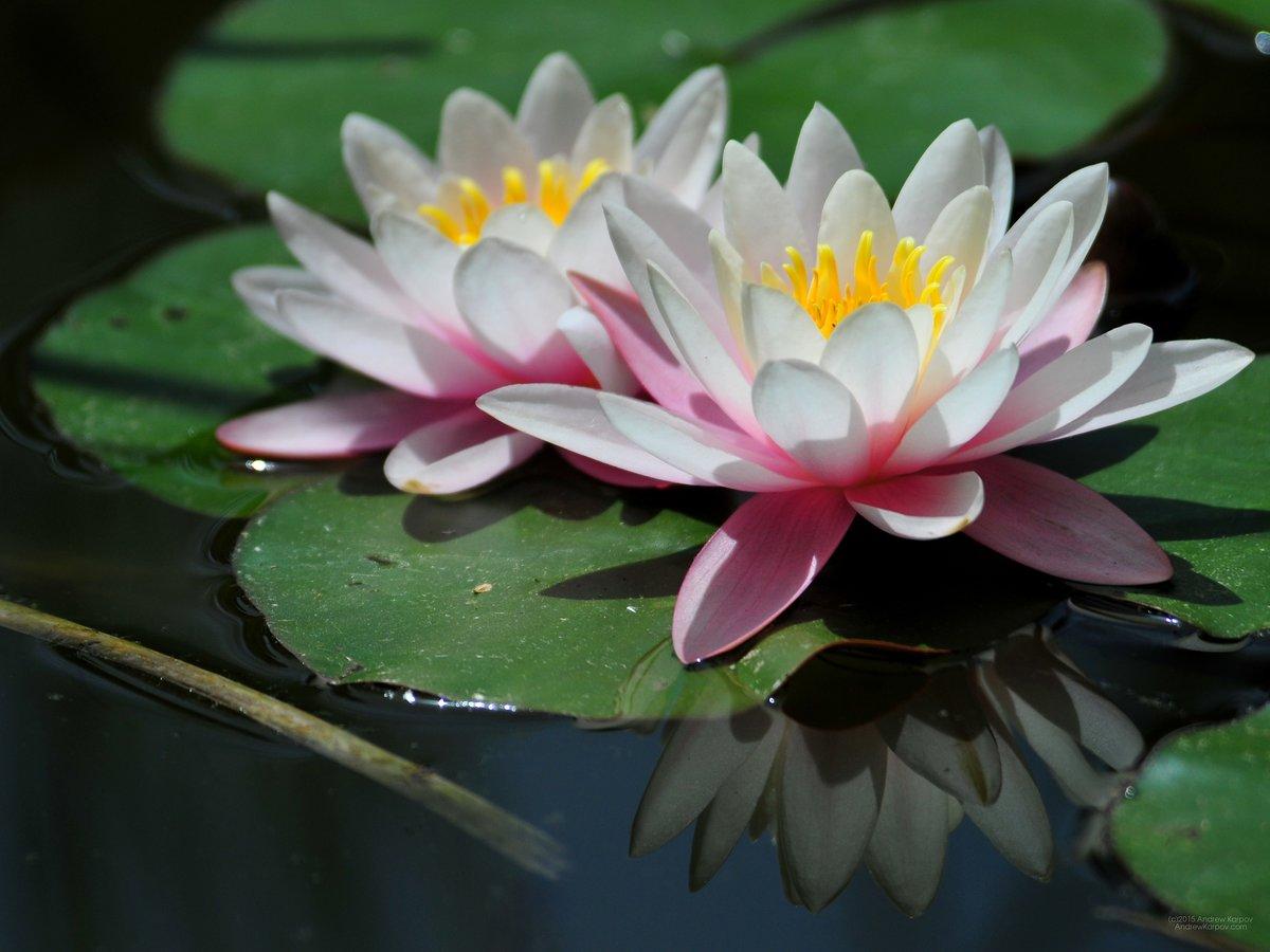 поклонницы цветы водяная лилия фото картинки ребенок уникален